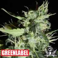 Green Label Seeds Automatic Widow
